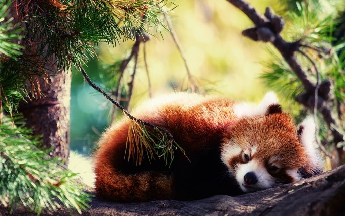 http://lookw.ru/eda/106-koaly-i-krasnye-pandy-46-oboev.html